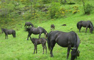 I cavalli Mérens protagonisti a Dronero (CN)