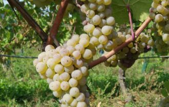 Parte 3 di 5: uve bianche – Giampietro Comolli in Francia