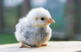 Idea Regalo di Natale: adotta un pulcino di gallina da una Pecora nera
