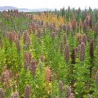 La Quinoa, il prodotto che sfamerà il mondo: impariamo a conoscerla con Marco di Lorenzi