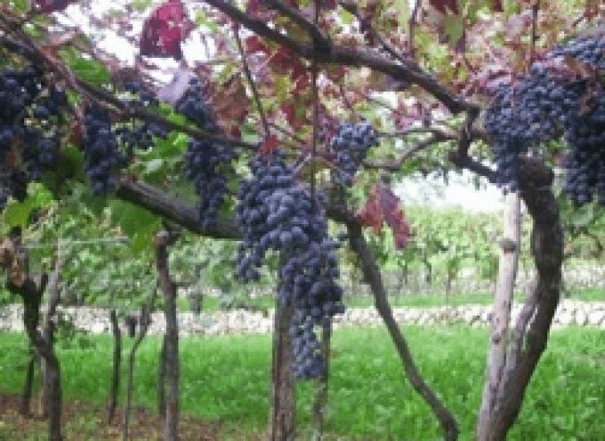 Valpolicella: Scoperto un nuovo vitigno autoctono, la varietà Spigamonti