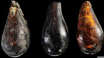 Scoperto il menu degli acari di 230 milioni di anni fa… ancora ignoto lo chef