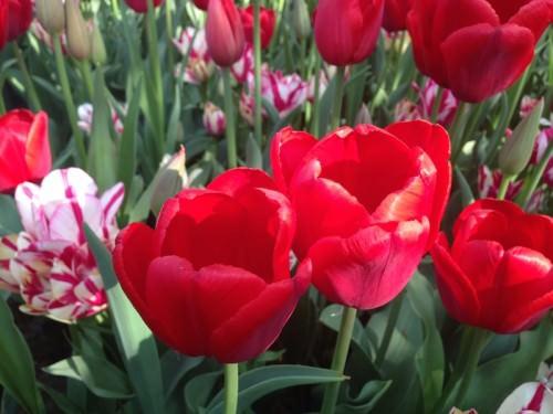 Tulipani: simbolo dell'Olanda, Nazione dell'anno a BioFach 2015