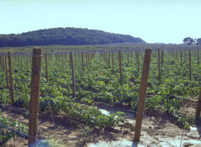 Stress idrico e qualità del vino: Intervista ad Alberto Puggioni, responsabile Agro Marketing di Netafim Italia