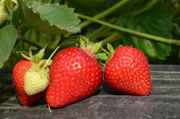 Clima: Carciofi e fragole raccolti in anticipo di quasi un mese