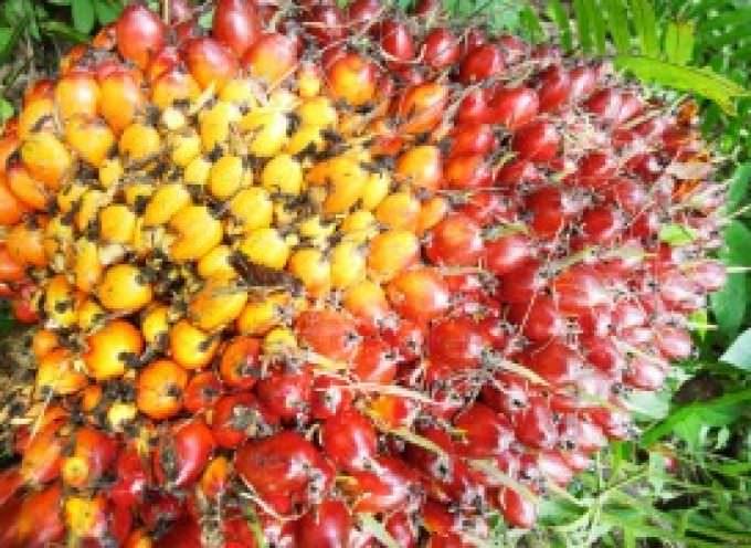 Le coltivazioni di palme da olio distruggono la biodiversità e le colture locali