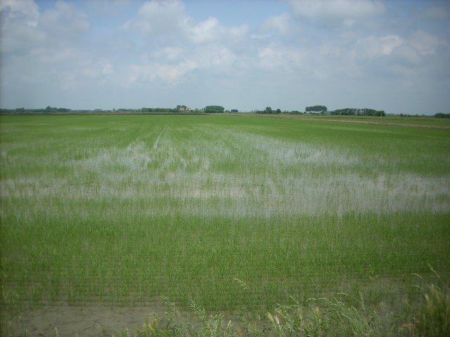 Il riso abbonda, ma solo quello orientale
