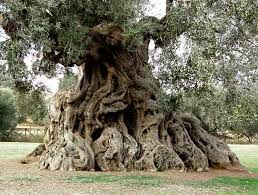 ulivo secolare - Puglia - Newsfood.com