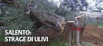 Ulivo abbattuto per Xylella - Newsfood.com