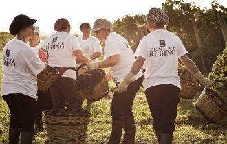 La Vendemmia delle Donne nelle vigne di Tenute Rubino, nel Salento, in Puglia