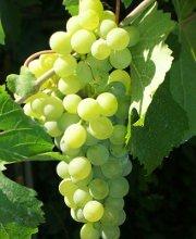 Puglia: Parole in Festival con uva e cipolle ad Acquaviva delle Fonti