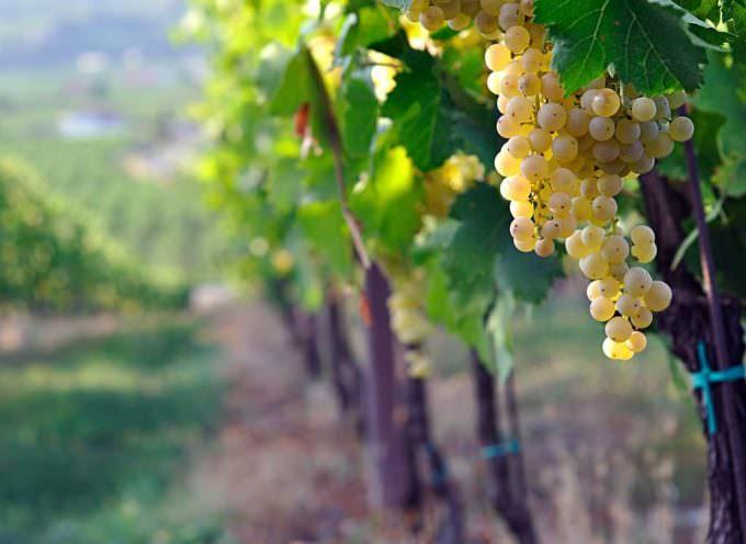 """L'uva """"durella"""", del territorio tra Verona e Vicenza, si degusta da Eataly"""