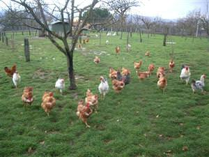 Polli all'aperto