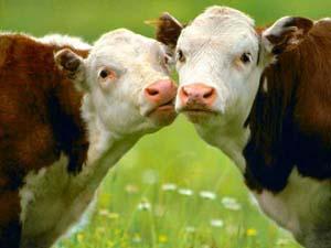 Fine quote latte: chiuse 1500 stalle e a rischio 120mila posti di lavoro