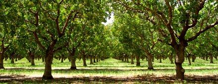 Gli alberi del pistacchio ci mettono fino a sei anni per fruttificare. Ma la pazienza dà i suoi frutti! Una volta che questi alberi resistenti sono completamente cresciuti, possono produrre queste gustose prelibatezze per decenni. Dal frutteto alle vostre papille gustative, tutto quello che ci vuole è una piccola scossa e molto amore.