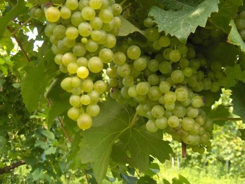 A grape of glera