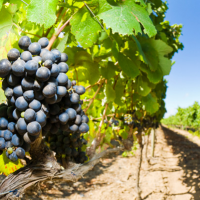 Ors Goup: E' nato Algo-Wine, un alleato prezioso per viticoltori ed enologi