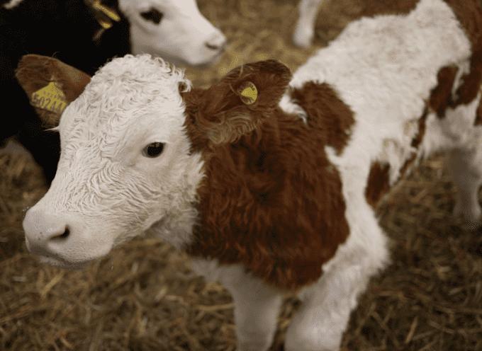 """Farmaci e sostanze dopanti somministrati illegalmente ai vitelli """"da carne"""""""