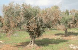 Xylella Fastidiosa, Sputacchina: vade retro dalla Nostra Puglia
