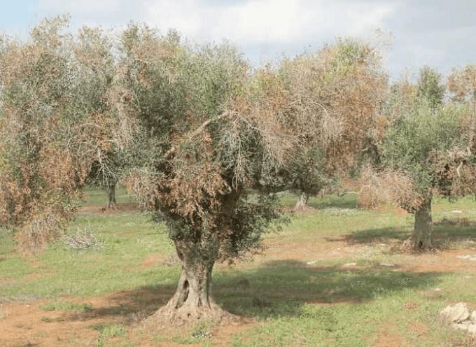 Coldiretti: Task force salva ulivi da pericolo contagio xylella