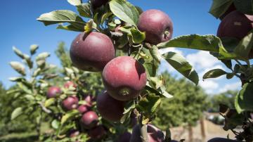 Greenpeace: Molti meleti europei contengono residui di pesticidi