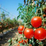 Pomodoro, allarme siccità: a rischio i raccolti in Puglia
