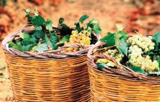 Cantine Settesoli inizia la vendemmia del Pinot Grigio: 27 luglio 2015
