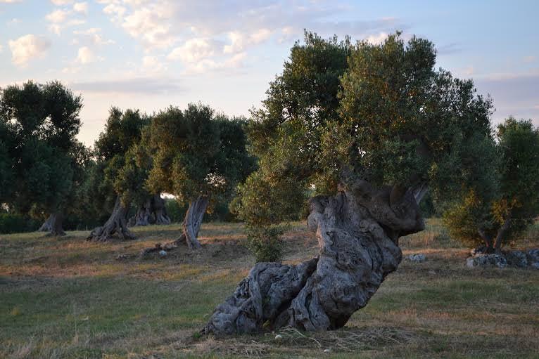 La notte dell'Ulivo: Una contaminazione positiva di cultura e poesia tra gli ulivi di Puglia