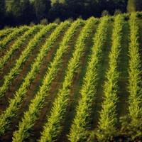 Vite e Vino Europa: vigne-giardini, paesaggi culturali che vanno difesi e valorizzati