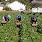 Caporalato: Il commento di Mercuri (Alleanza cooperative agroalimentari)
