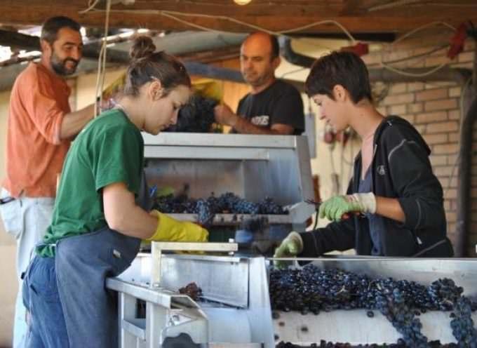"""Montepulciano: La vendemmia si tinge di """"rosa"""""""
