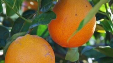 Ecommerce: Le Arance Rosse di Sicilia Naveline sono in arrivo