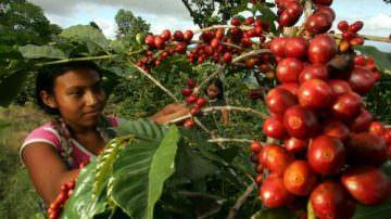 Salgono a 4 le piantagioni di Caffè di Luigi De Falco in Honduras
