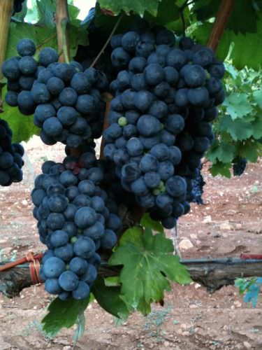 MANDURIA grappolo primitivo 375x500 Primitivo di Manduria molto più che un vino by Luca Maroni Elenco 36 Cantine