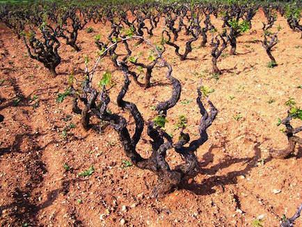 MANDURIA vigna DI PRIMITIVO Primitivo di Manduria molto più che un vino by Luca Maroni Elenco 36 Cantine