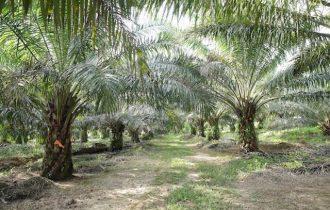 Olio di Palma: Cosa c'è dietro. Intervista verità dalla Malesia