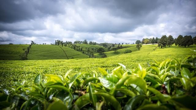 Curiosità sul tè del Kenya