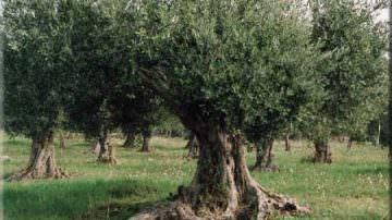 Olive: In aumento i furti nelle campagne pugliesi