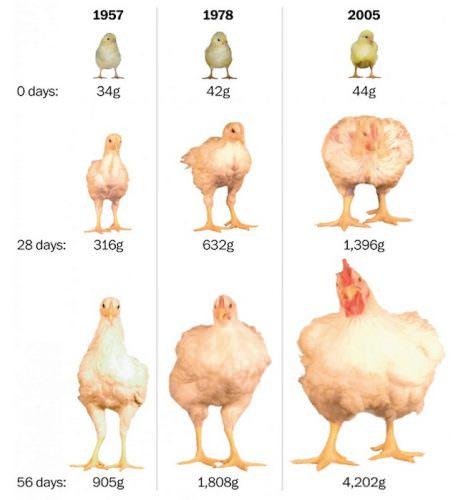 L'industria è pronta per produrre direttamente petti e cosce di pollo. La chioccia e gli incubatoi non serviranno più