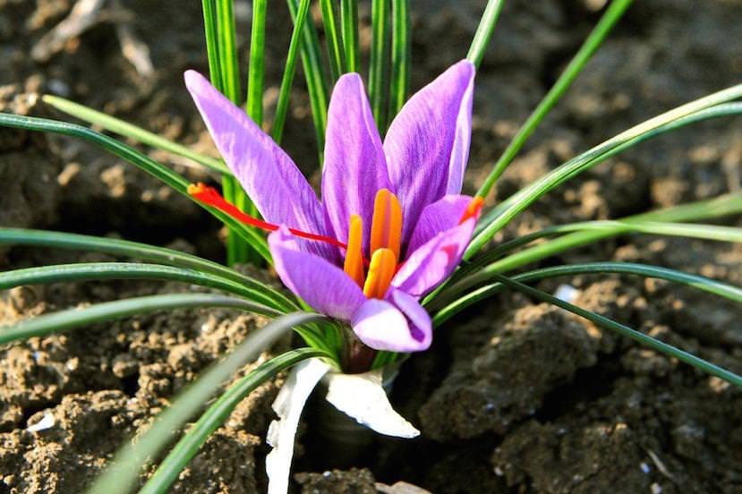 Zafferano di Puglia: un fil rouge coltivato col Cuore da chi ama la sua terra