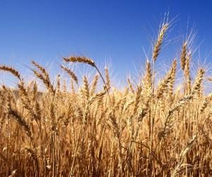 Il grano importato in Italia è controllato e sicuro
