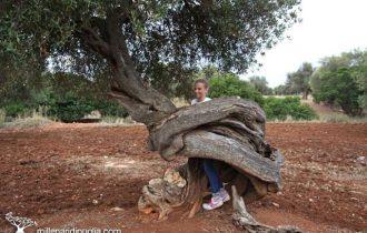 La Puglia e i suoi ulivi