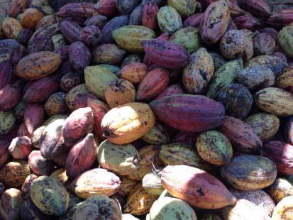 Cabosse di cacao mature