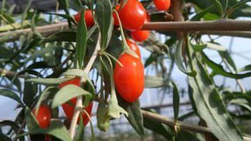 Goji Italiano: Il potere nutraceutico dei superfrutti a Fruit & Veg System e Cibus