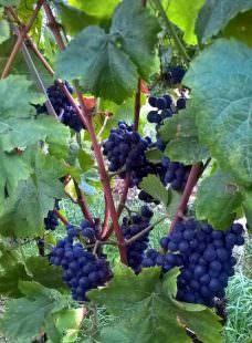 Grappoli di Pinot nero