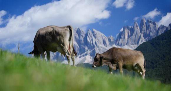 Mucche al pascolo 1