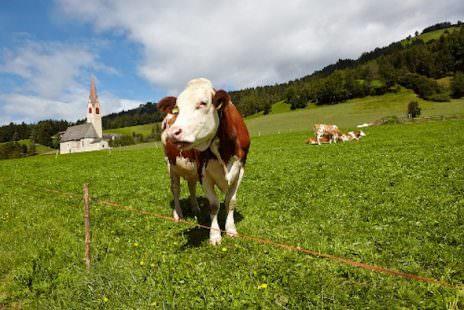 Mucche al pascolo 2