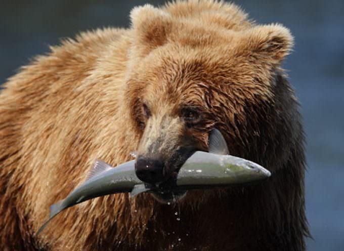Un salmone selvaggio mi porterà in Alaska