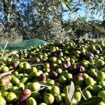 Coldiretti, stop all'invasione dell'olio tunisino