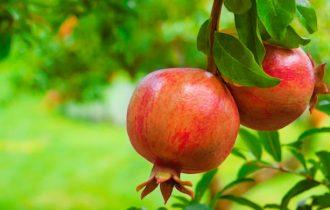 I frutti del melograno antitumorali per eccellenza
